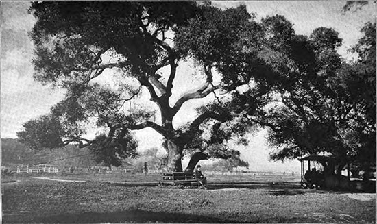 Oak photo image